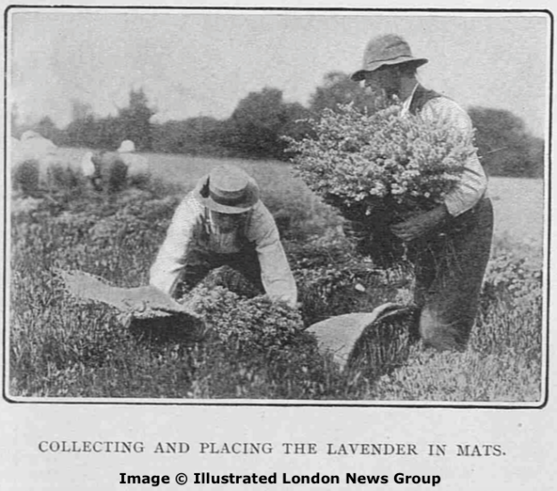 Collecting and placing the lavender in mats