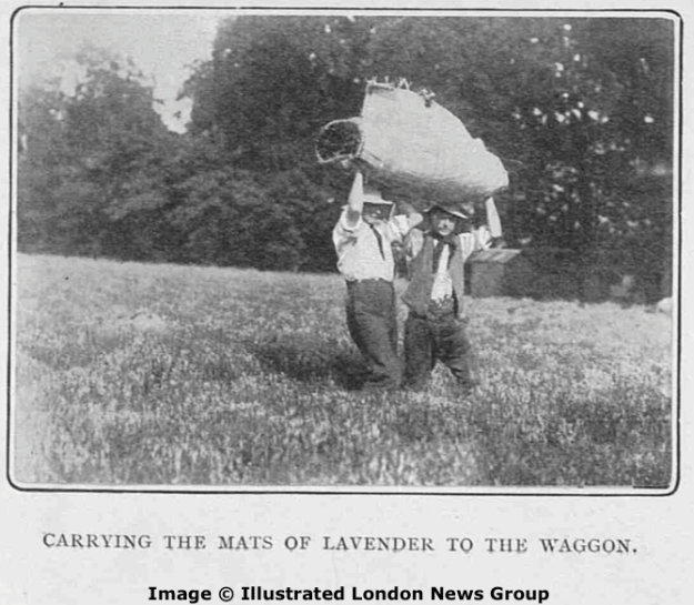 Carrying the mats of lavender to the waggon